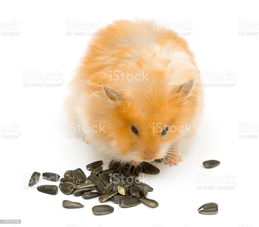hamster and sunflower stock photo