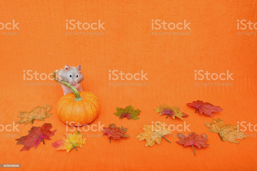 Hamster Behind Pumpkin stock photo