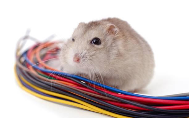 hamster beißt ein kabel. - cut wrong hair stock-fotos und bilder