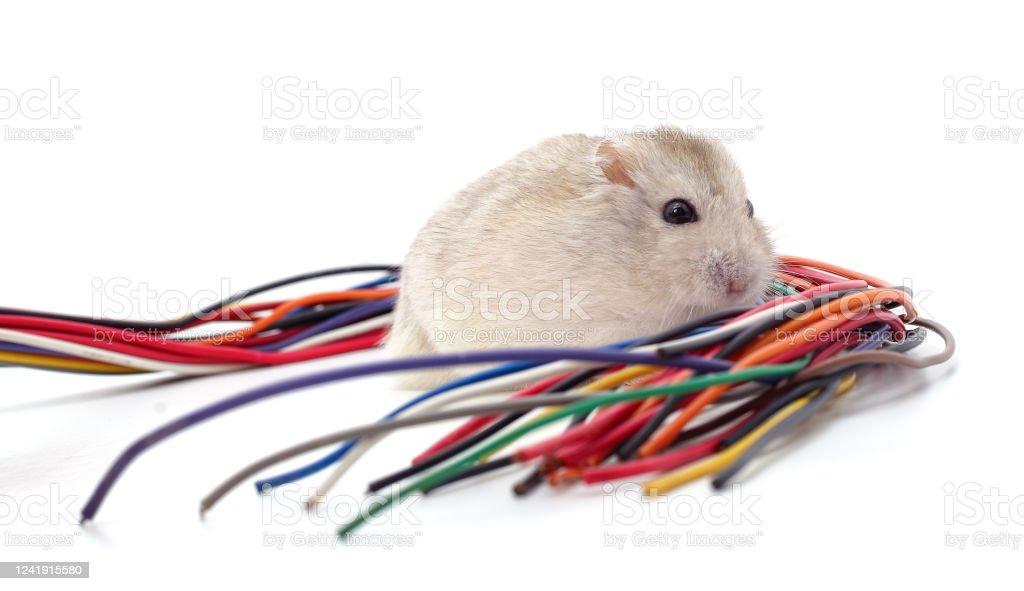 Hamster beißt ein Kabel. - Lizenzfrei Abgerissen Stock-Foto