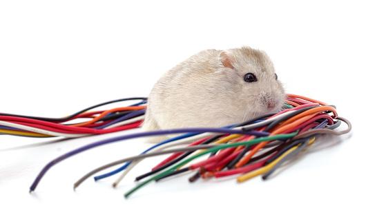 Hamster Beißt Ein Kabel Stockfoto und mehr Bilder von Abgerissen
