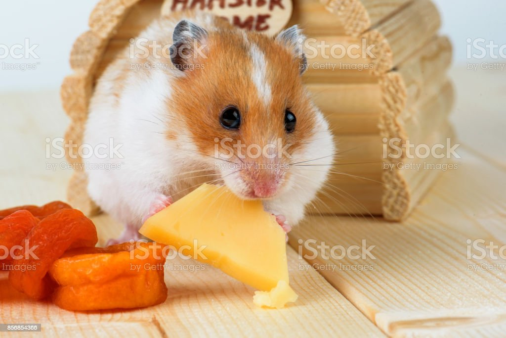 A hamster close-up eats cheese near its wooden house. stock photo