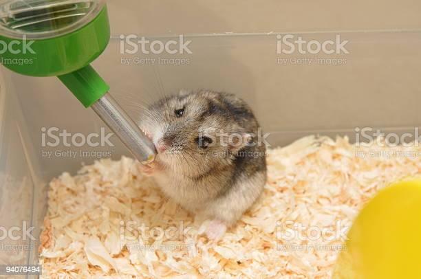 Hamster drinking water picture id94076494?b=1&k=6&m=94076494&s=612x612&h=dedgmvpx8oxlaysc rzsphs x5kes5jeq1o9qb fira=