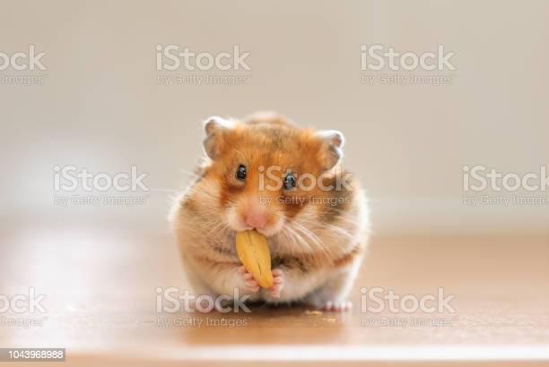 Hamster eating nut picture id1043968988?b=1&k=6&m=1043968988&s=612x612&h= u5hrn24qmlqyjan61wzmta6wgpsdbuidw3xy6lmdbs=