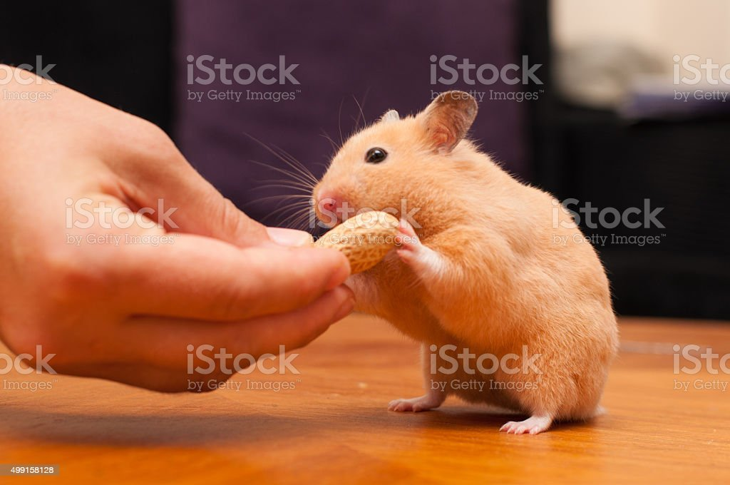 Hamster eating peanut from a hand stock photo