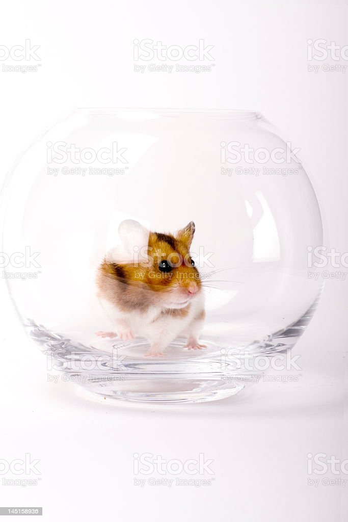 Hamster in a Bowl royalty-free stock photo