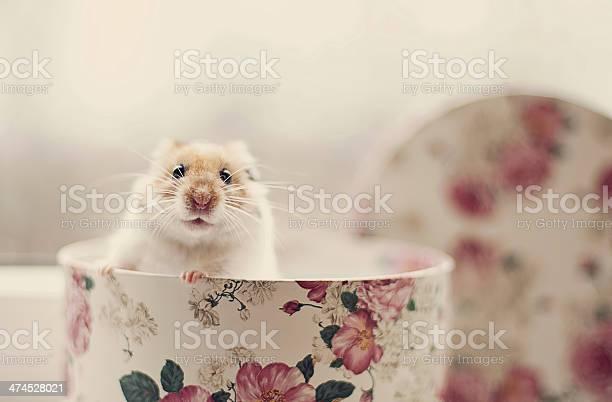 Hamster in a box picture id474528021?b=1&k=6&m=474528021&s=612x612&h=txsfmgeclqqwm6q4cqla7wmvjk2eyfy97wgwh9 6mzq=