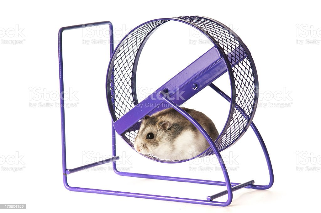 Hamster in a excercise wheel royalty-free stock photo