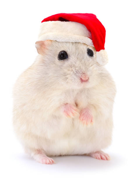 Hamster in a red Santa Claus hat.