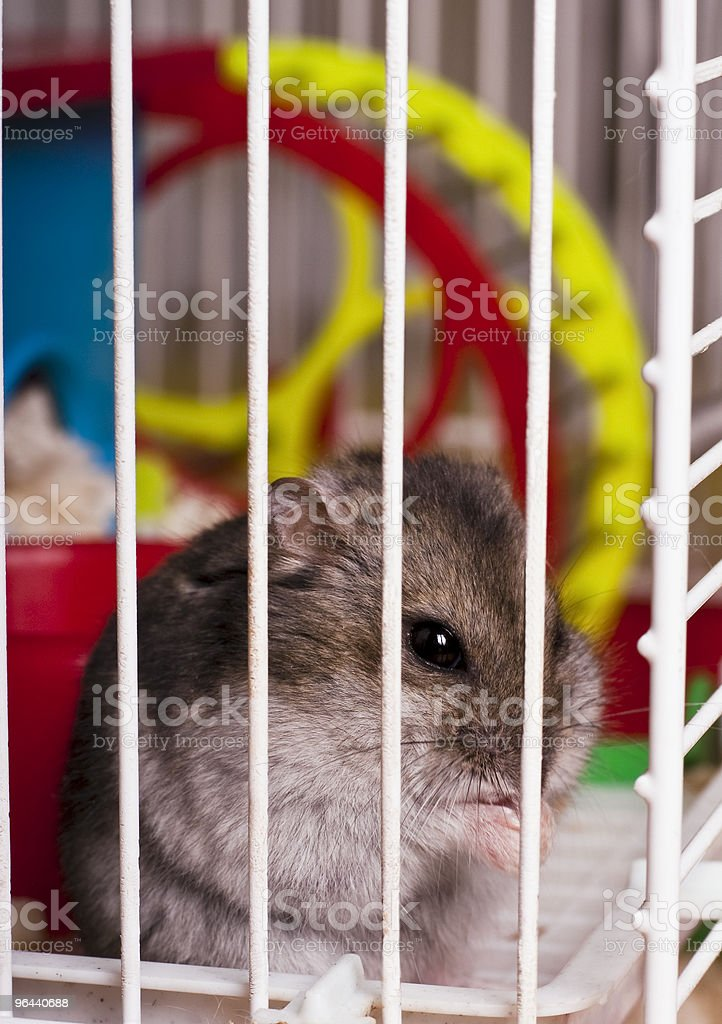 Hamster  in cage - Royalty-free Animal Stock Photo