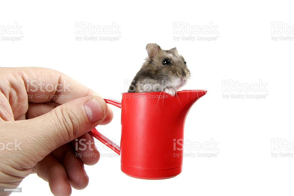 hamster in cup royalty-free stock photo