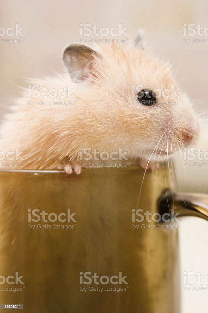 hamster in glass royalty-free stock photo