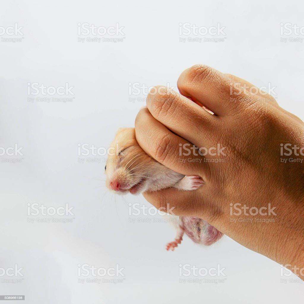 Hamster in hands stock photo