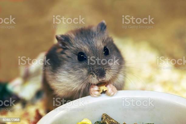 Hamster is an easy pet picture id528572968?b=1&k=6&m=528572968&s=612x612&h=2 qu9q3njguuyh qgevrq rtasuyespvm7mbyv46rc8=