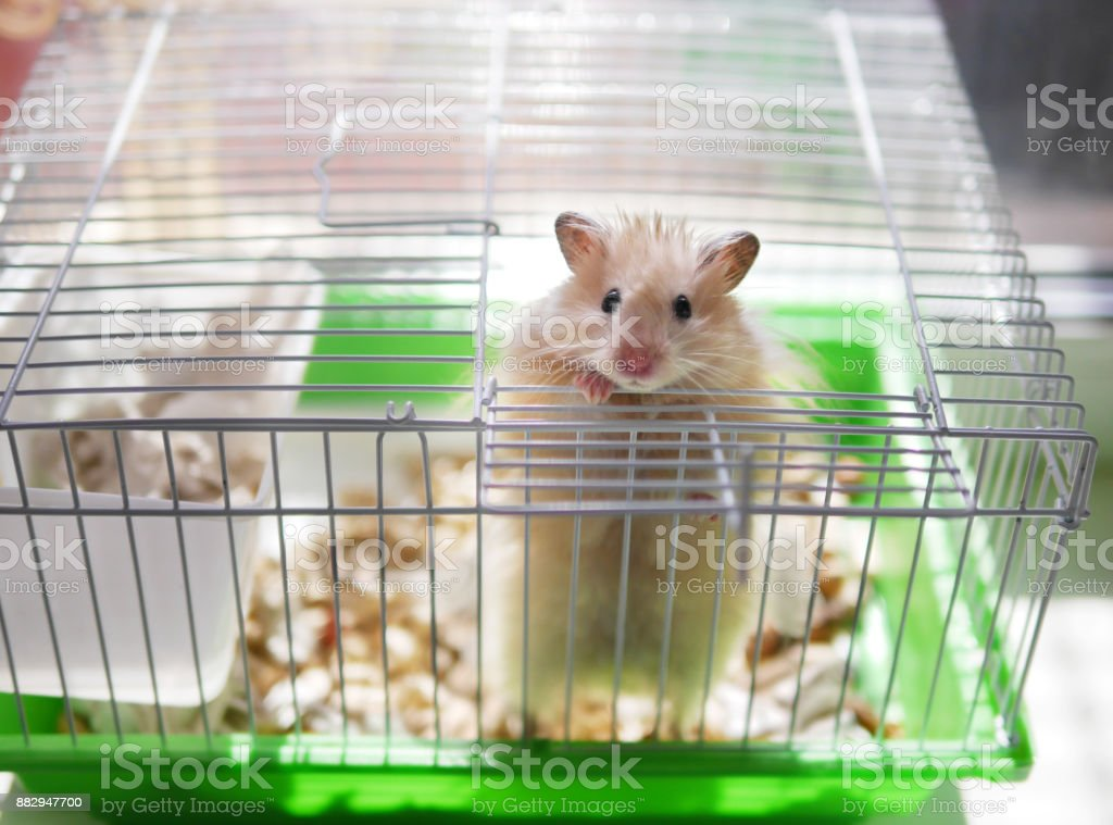 A hamster is in a cage. The hamster looks out of the cage. stock photo