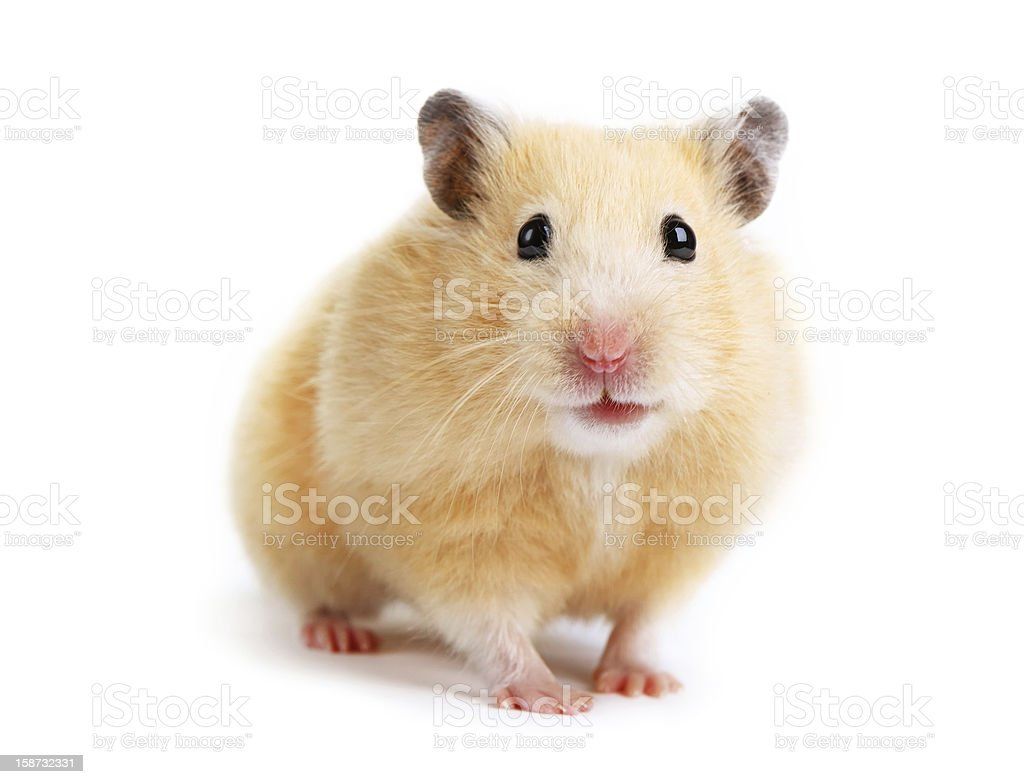 Hamster isolated stock photo