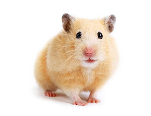 Hamster Isoliert – Foto