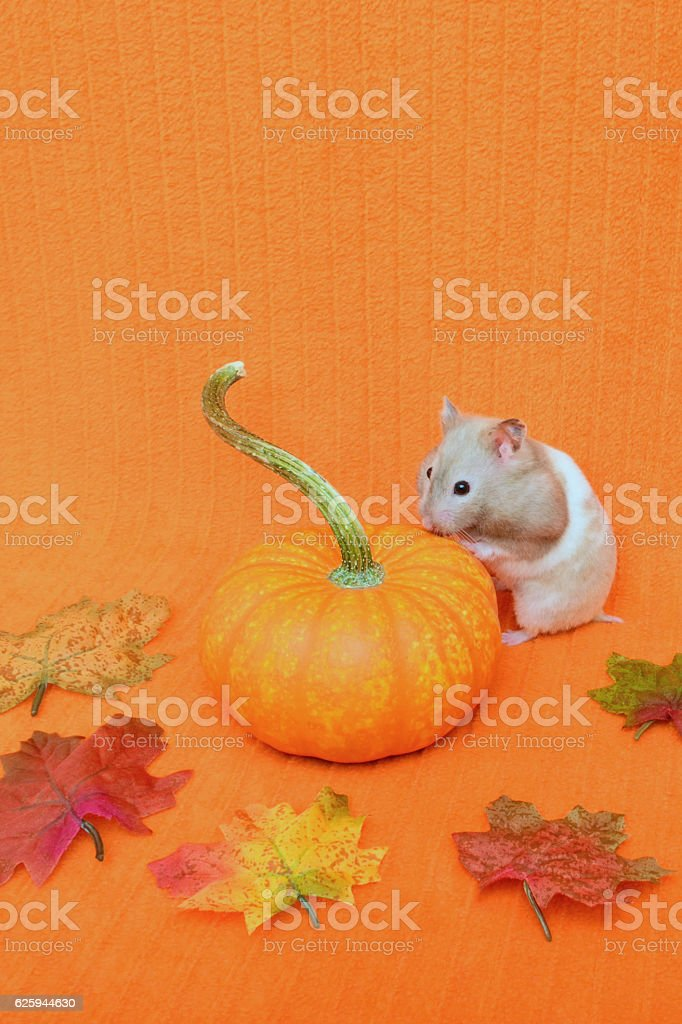 Hamster Looks at Pumpkin stock photo