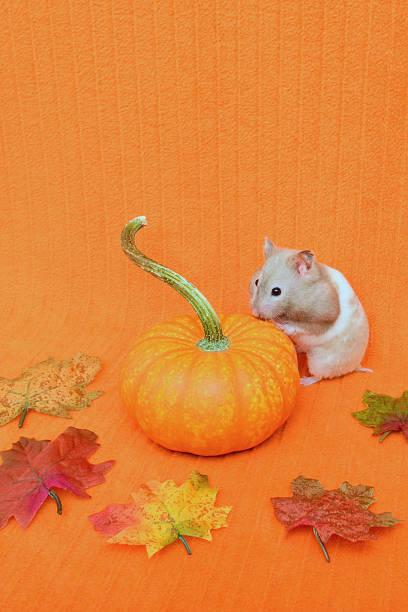 Hamster Looks at Pumpkin stock photo