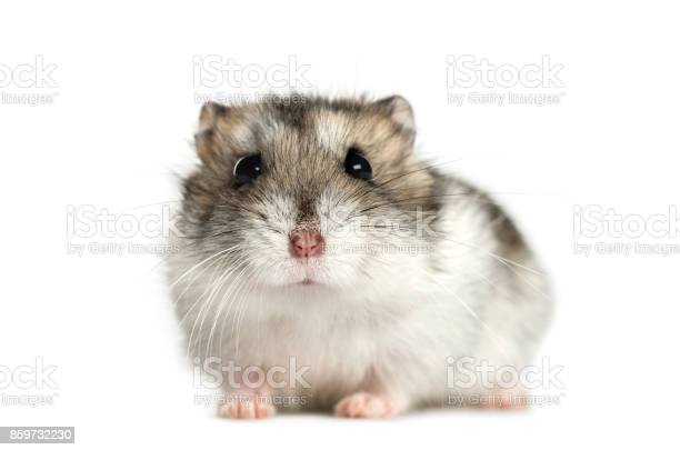 Hamster lying isolated on white picture id859732230?b=1&k=6&m=859732230&s=612x612&h=wntvwgzlis3ygdxgmexnceh5mxxomalnl6lvva08pci=