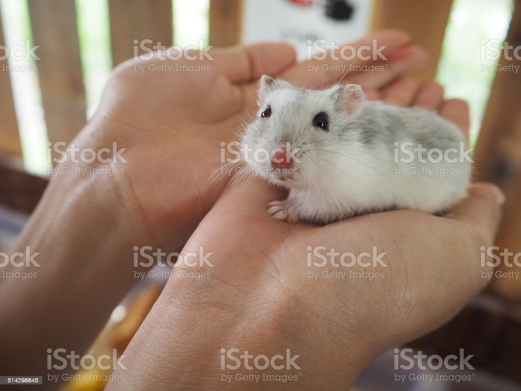 Hamster on two hands stock photo