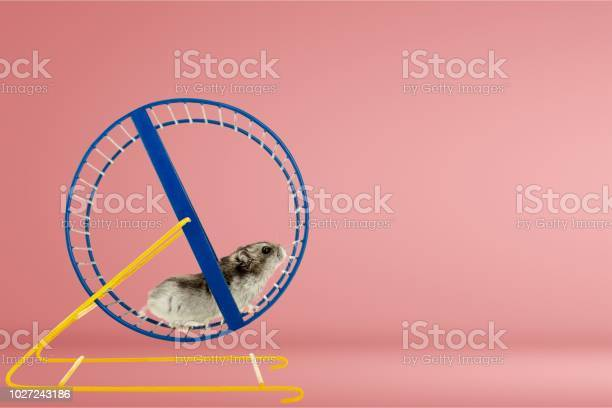 Hamster picture id1027243186?b=1&k=6&m=1027243186&s=612x612&h=ogylrbifghd74taxzlx b2gtx1qhgst5frcuh72lmoc=