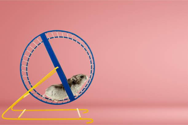 Hamster. Hamster running in circle on wooden table wheel stock pictures, royalty-free photos & images