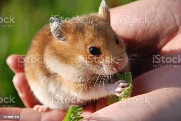 Hamster picture id152985209?b=1&k=6&m=152985209&s=612x612&h=uwjfh0u04degtwdmtezqxe4 y5 wocdqrkpmfzseiug=