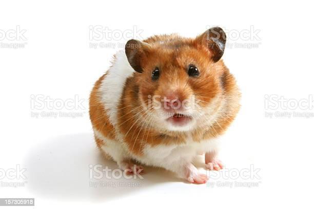 Hamster picture id157305918?b=1&k=6&m=157305918&s=612x612&h=qrc sszvcsdq2jezkrj3zxqtjqq4j0aptbjbswnbqqk=