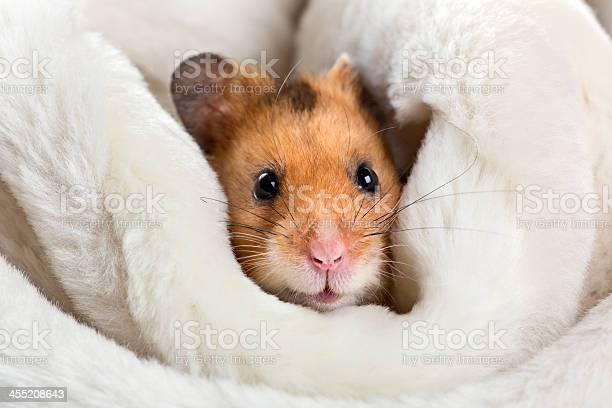 Hamster picture id455208643?b=1&k=6&m=455208643&s=612x612&h=vtidf gdt9vp pnvaeemnnhes8wvitovy2bl7xsyjdy=
