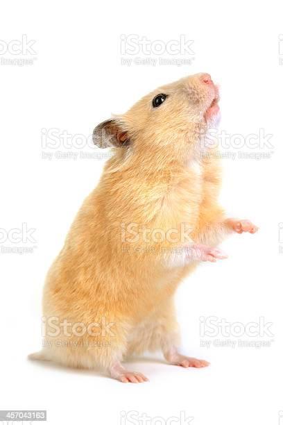 Hamster picture id457043163?b=1&k=6&m=457043163&s=612x612&h=zj4lofnotn8xv3w2xsdfj8vsugwa3x0qbeatupy8asc=