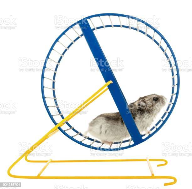 Hamster picture id904586704?b=1&k=6&m=904586704&s=612x612&h=l03ixokb9yfvfxu8qsefas2rngrf rrbyf euu ttvy=