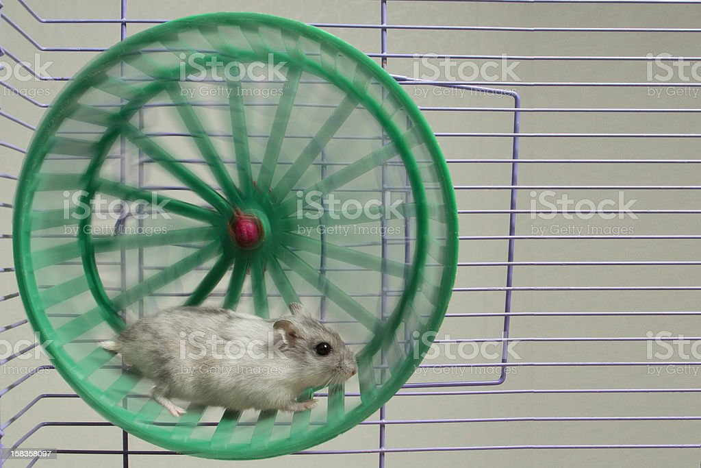 hamster running in the wheel stock photo