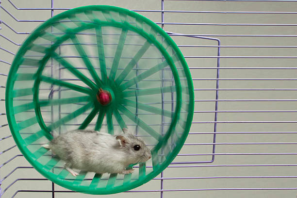 hamster running in the wheel hamster running in the wheel. wheel stock pictures, royalty-free photos & images