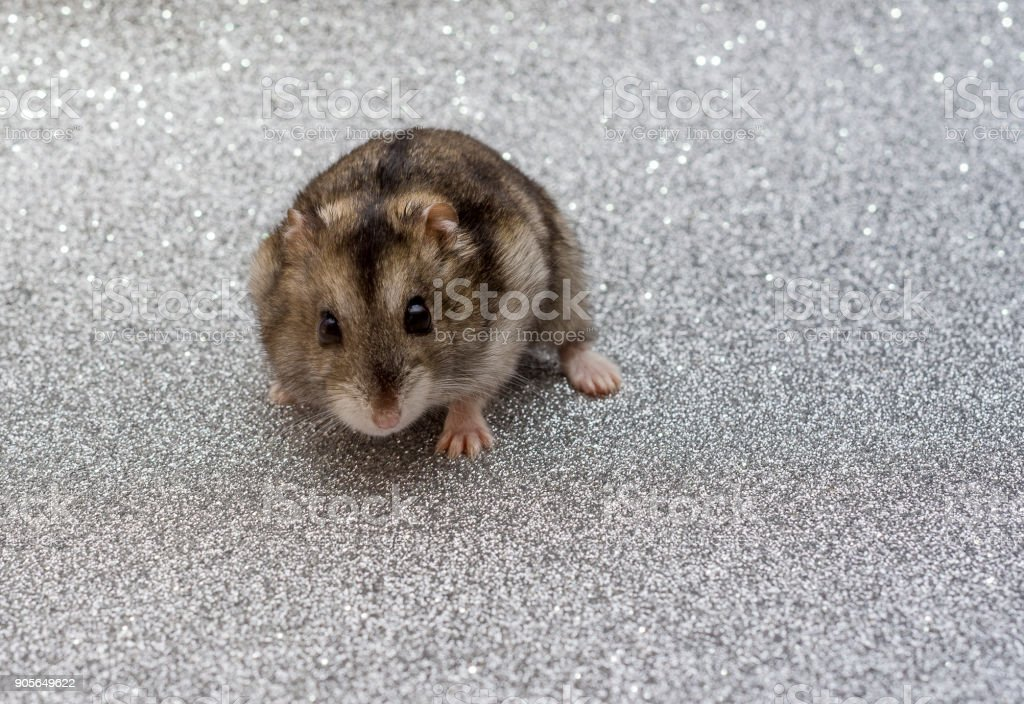 hamster stares into the distance stock photo