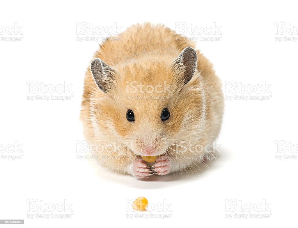 Hamster with corn seeds stock photo