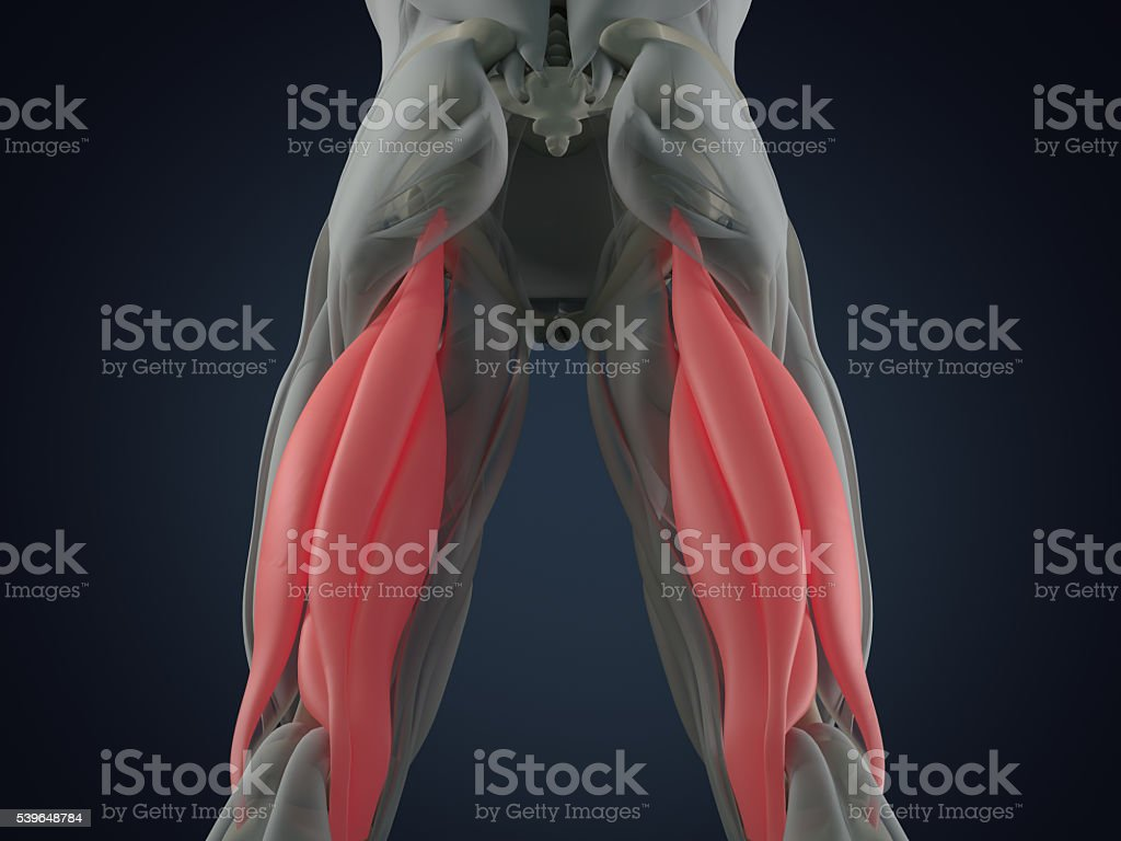 Hamstring Muscle Group Human Anatomy Muscle System 3d Illustration