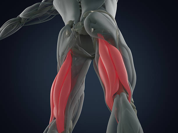 Hamstring muscle group, human anatomy muscle system. 3d illustration. Hamstring muscle group, human anatomy muscle system. 3d illustration. hamstring stock pictures, royalty-free photos & images