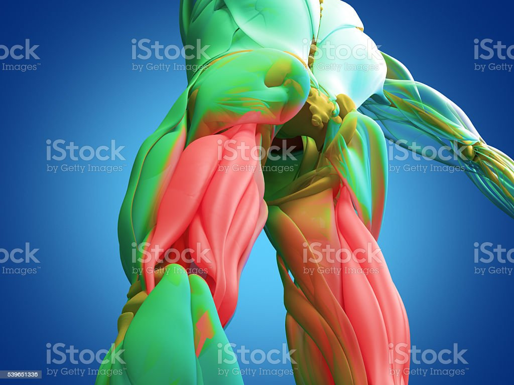 Hamstring Muscle Group Human Anatomy Muscle System 3d Illustration ...