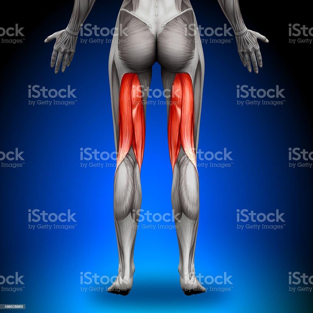 Oberschenkelanatomie Muskeln Weibliche Stock-Fotografie und mehr ...