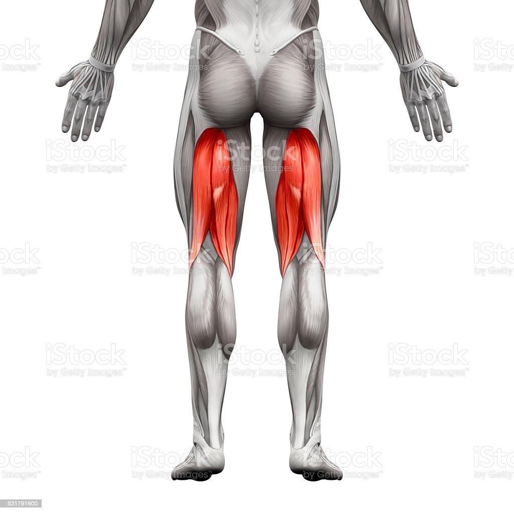 Fotografía de Tendones De La Corva Los Músculos Hombre Anatomía ...