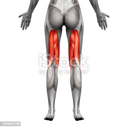 Hamstrings Muscles Anatomy Muscle Isolated On White Stock-Fotografie ...