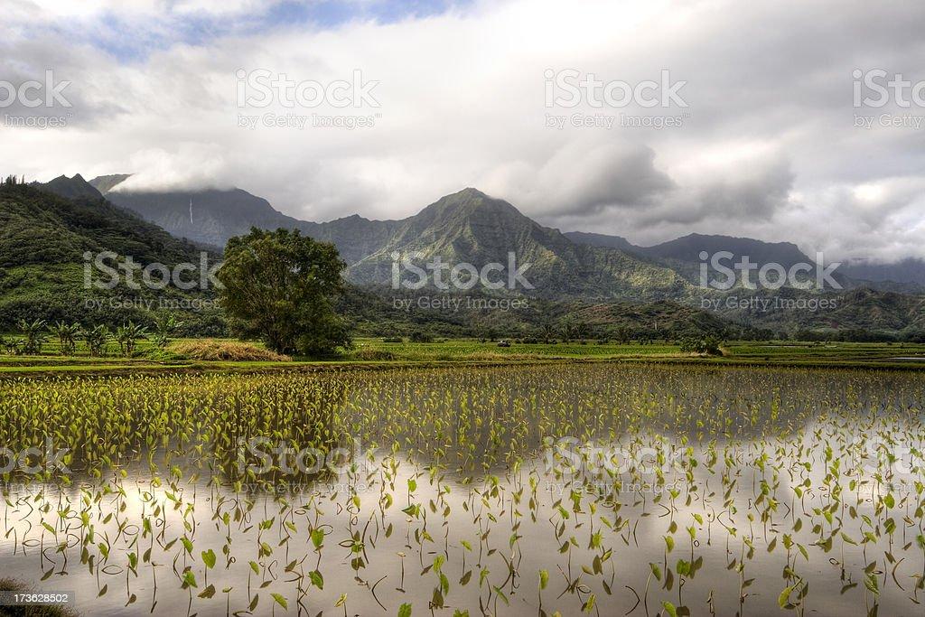 Hanalei Valley Taro Fields, Hawaii, USA. stock photo