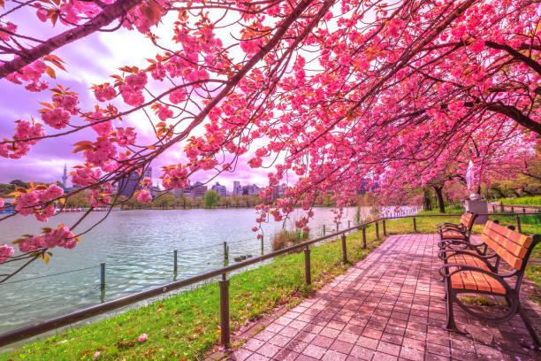 賞花在上野公園 - 在開花 個照片及圖片檔