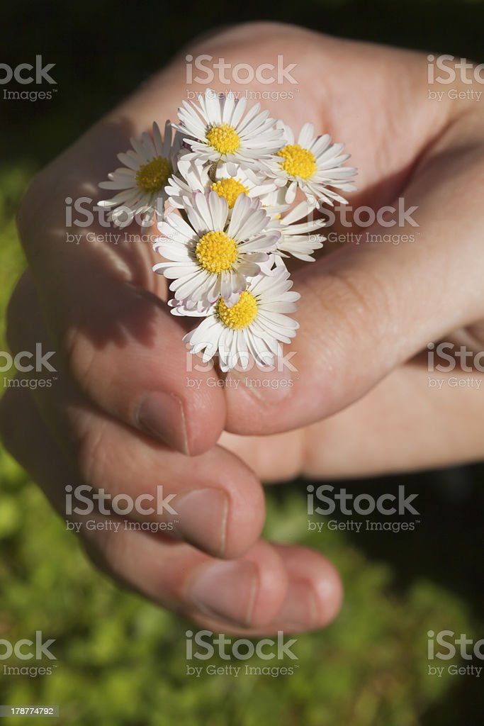 Hand and bunch of daisies. royalty-free stock photo