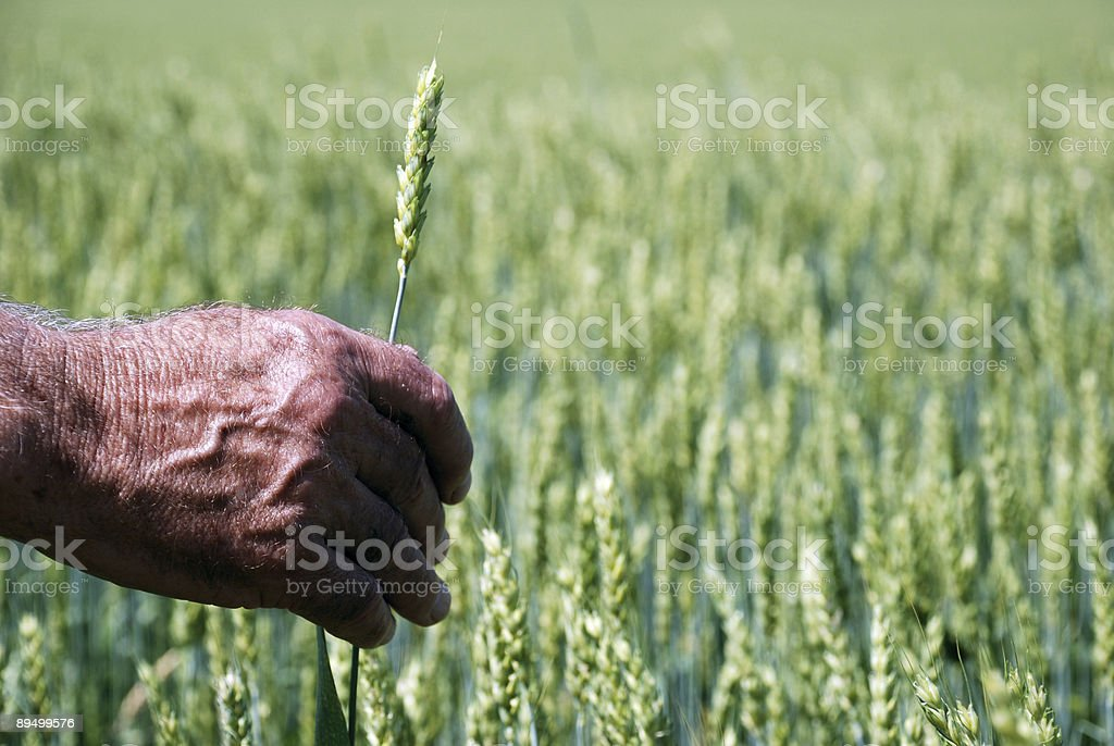 Main et de blé photo libre de droits