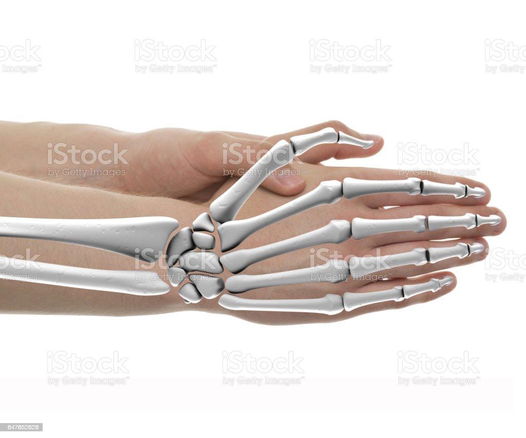 Hand Bones Male Anatomy Isolated On White Stock Photo More
