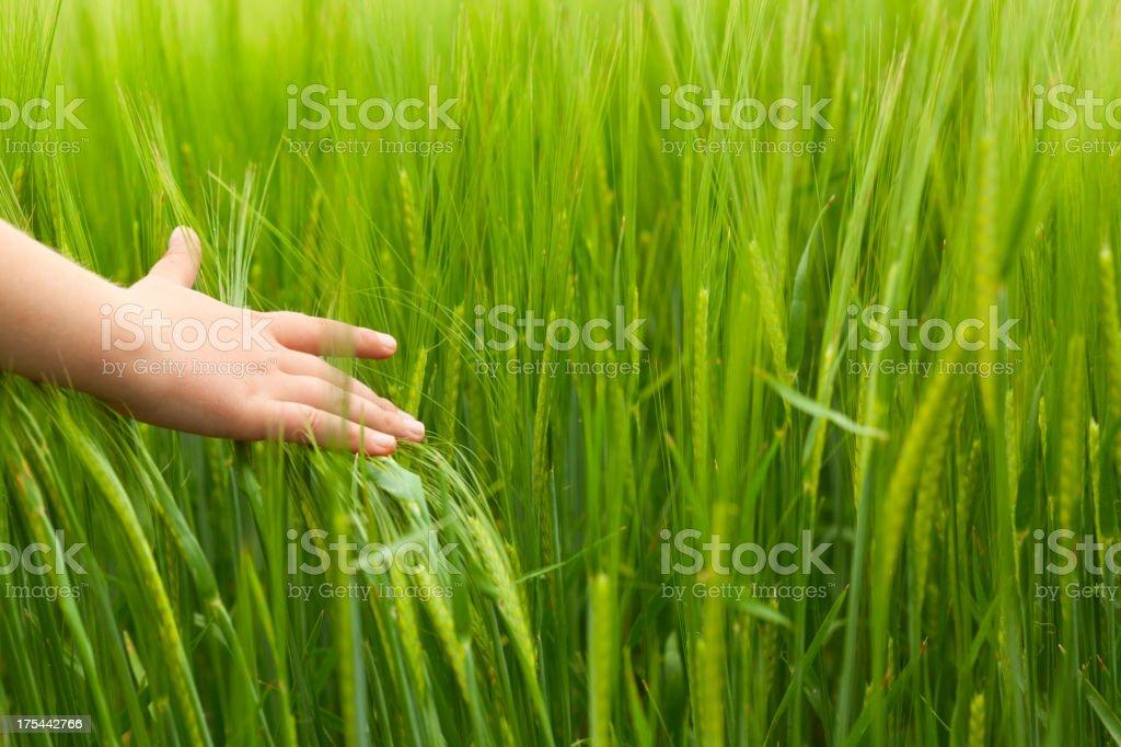 Hand brushing down long wheat plants royalty-free stock photo