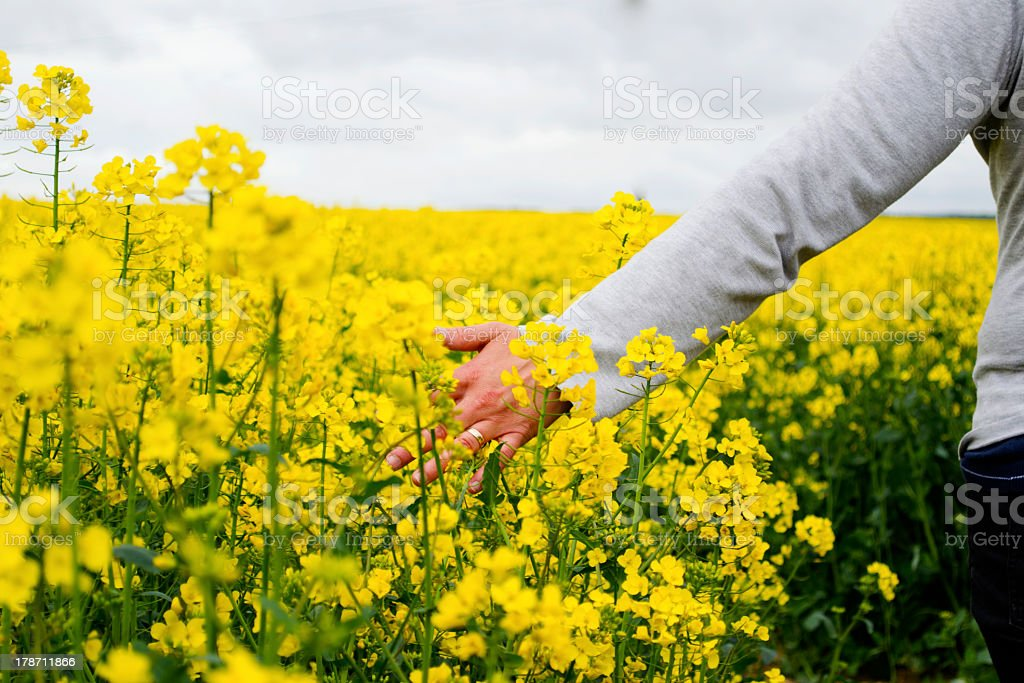 Hand brushing through rape seed stock photo