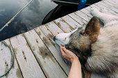 istock Hand caressing a malamute dog 1031038132